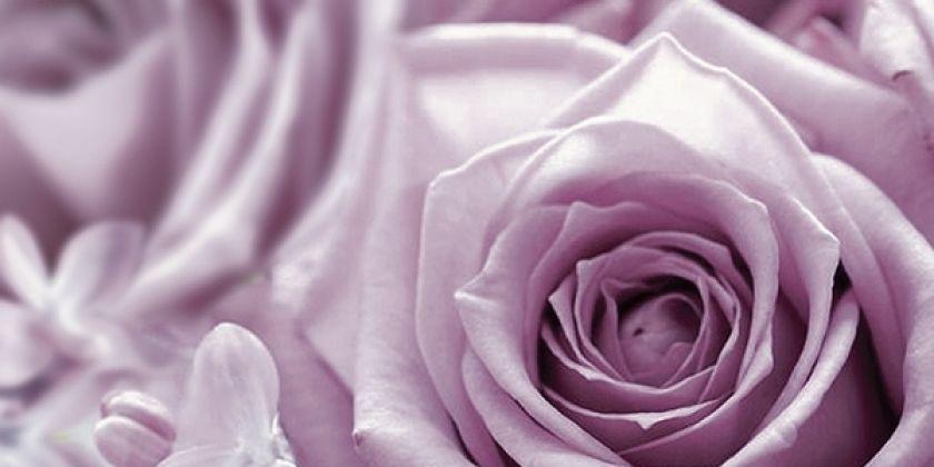 Роза фиолетовый 1 25x50